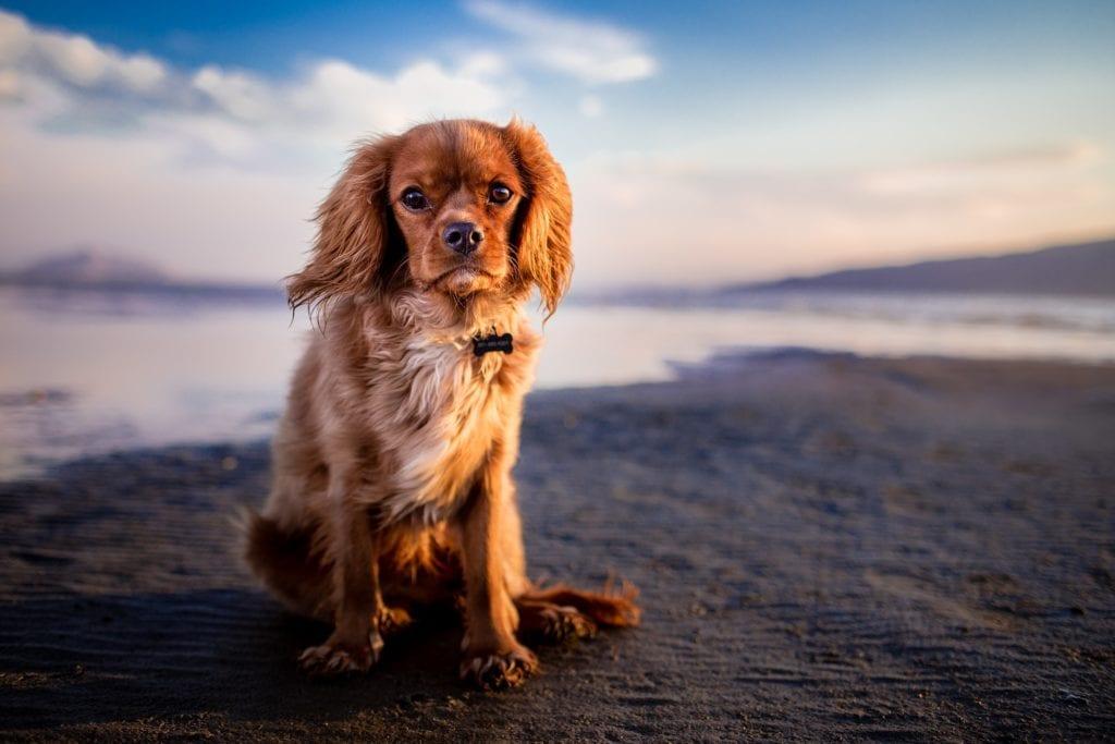 Hund - Strand