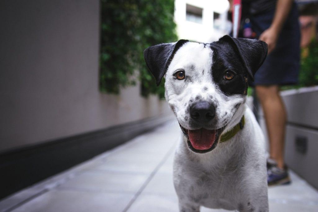 Hund - Flöhe